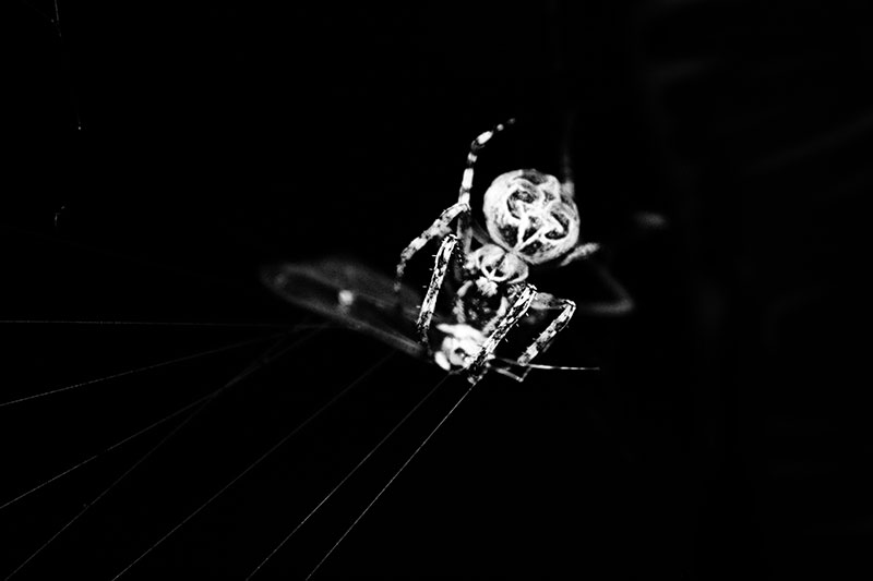 A Spider attacking a mayfly entangled in the web